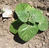 Teelt tips voor ananaskers - Een stuk grond ontwikkelen ...